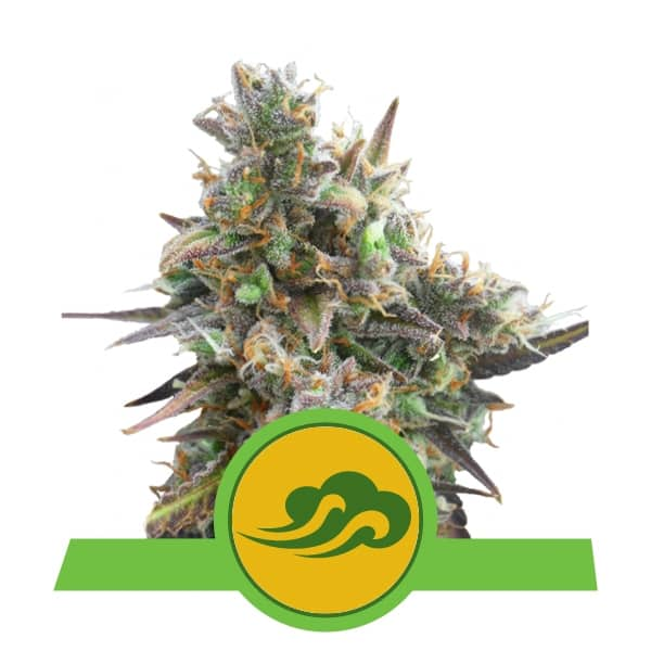 Royal Queen Seeds Royal Bluematic autoflowering cannabis seeds (5 seeds pack)