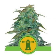 Royal Queen Seeds Haze Auto autoflowering cannabis seeds (5 seeds pack)