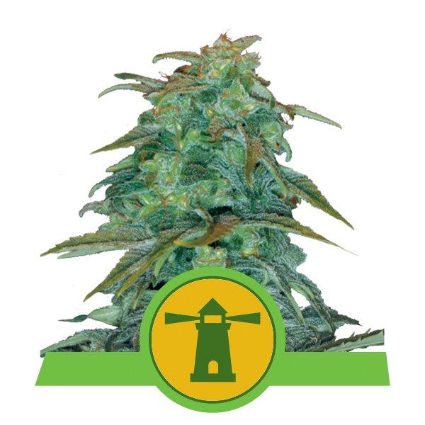 Royal Queen Seeds Haze Auto autoflowering cannabis seeds (3 seeds pack)