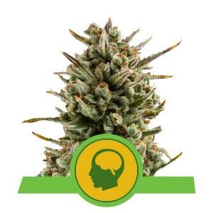Royal Queen Seeds Amnesia Haze Auto autoflowering cannabis seeds (3 seeds pack)