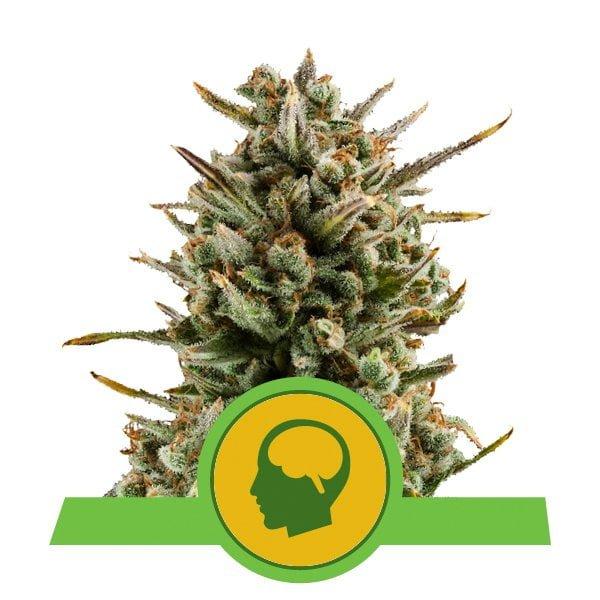 Royal Queen Seeds Amnesia Haze Auto autoflowering cannabis seeds (3 seeds pack)
