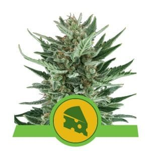 Royal Queen Seeds Royal Cheese Auto autoflowering cannabis seeds (5 seeds pack)