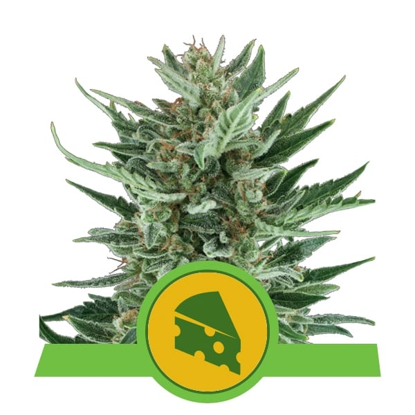 Royal Queen Seeds Royal Cheese Auto autoflowering cannabis seeds (3 seeds pack)