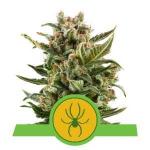 Royal Queen Seeds White Widow Auto autoflowering cannabis seeds (3 seeds pack)