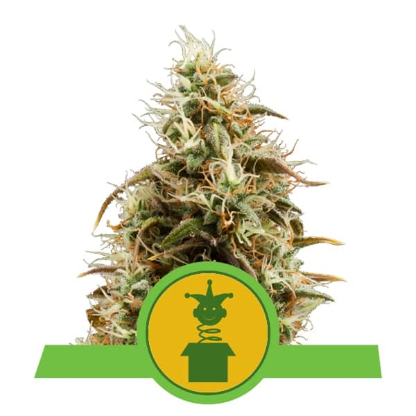Royal Queen Seeds Royal Jack Auto autoflowering cannabis seeds (5 seeds pack)