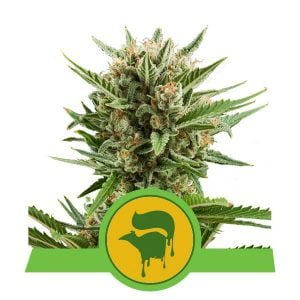 Royal Queen Seeds Sweet Skunk Auto autoflowering cannabis seeds (5 seeds pack)