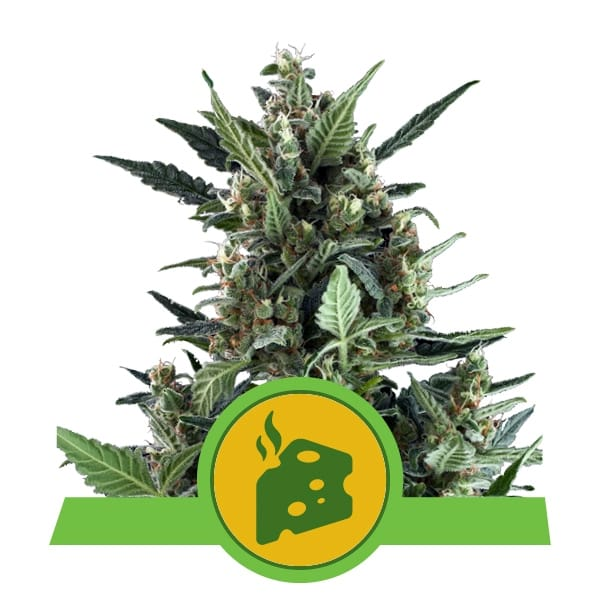 Royal Queen Seeds Blue Cheese Auto autoflowering cannabis seeds (5 seeds pack)