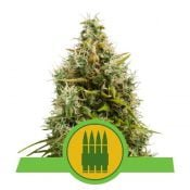 Royal Queen Seeds Royal AK Auto autoflowering cannabis seeds (3 seeds pack)