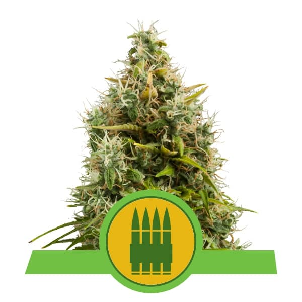 Royal Queen Seeds Royal AK Auto autoflowering cannabis seeds (5 seeds pack)