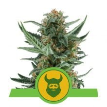 Royal Queen Seeds Royal Dwarf autoflowering cannabis seeds (5 seeds pack)