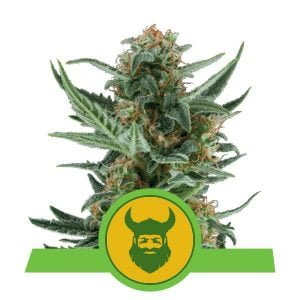 Royal Queen Seeds Royal Dwarf autoflowering cannabis seeds (3 seeds pack)