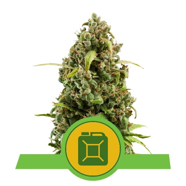 Royal Queen Seeds Diesel Auto autoflowering cannabis seeds (3 seeds pack)