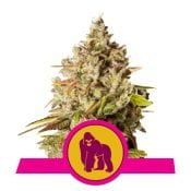 Royal Queen Seeds Royal Gorilla feminized cannabis seeds (5 seeds pack)
