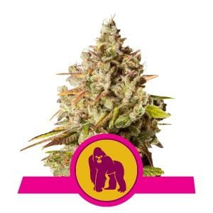 Royal Queen Seeds Royal Gorilla feminized cannabis seeds (3 seeds pack)