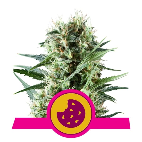 Royal Queen Seeds Royal Cheese feminized cannabis seeds (3 seeds pack)
