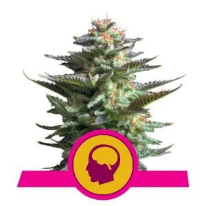 Royal Queen Seeds Amnesia Haze feminized cannabis seeds (3 seeds pack)