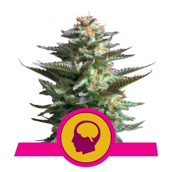 Royal Queen Seeds Amnesia Haze feminized cannabis seeds (3 seeds pack)