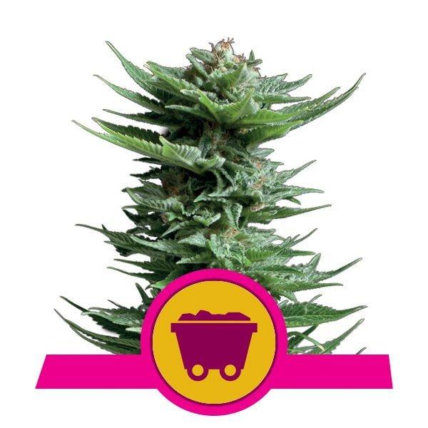 Royal Queen Seeds Shining Silver Haze feminized cannabis seeds (3 seeds pack)