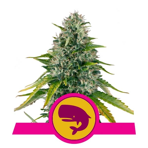 Royal Queen Seeds Royal Moby feminized cannabis seeds (5 seeds pack)