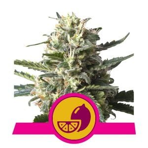 Royal Queen Seeds Lemon Shining Silver Haze feminized cannabis seeds (3 seeds pack)