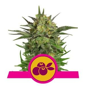 Royal Queen Seeds Haze Berry feminized cannabis seeds (3 seeds pack)