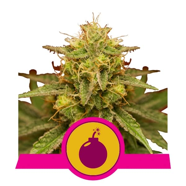Royal Queen Seeds Royal Domina feminized cannabis seeds (3 seeds pack)