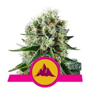 Royal Queen Seeds Critical Kush feminized cannabis seeds (3 seeds pack)