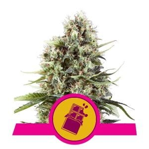 Royal Queen Seeds Chocolate Haze feminized cannabis seeds (3 seeds pack)