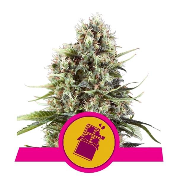 Royal Queen Seeds Chocolate Haze feminized cannabis seeds (5 seeds pack)
