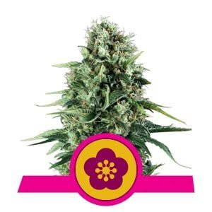 Royal Queen Seeds Power Flower feminized cannabis seeds (3 seeds pack)