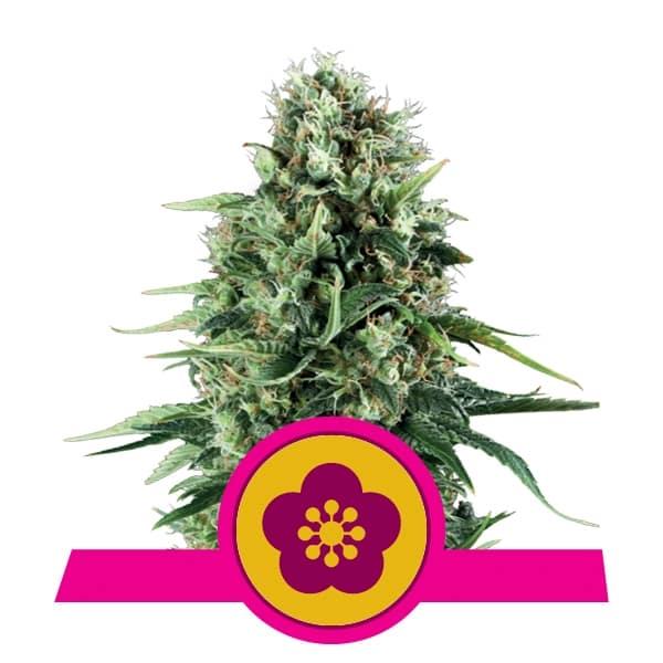 Royal Queen Seeds Power Flower feminized cannabis seeds (5 seeds pack)