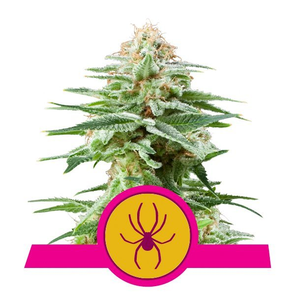 Royal Queen Seeds White Widow feminized cannabis seeds (5 seeds pack)