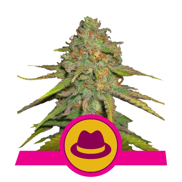 Royal Queen Seeds O.G. Kush feminized cannabis seeds (5 seeds pack)