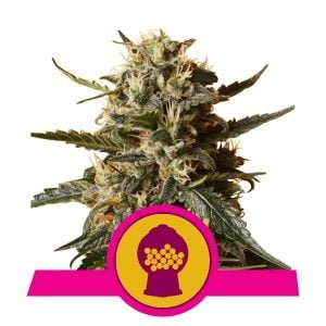 Royal Queen Seeds Bubblegum XL feminized cannabis seeds (3 seeds pack)