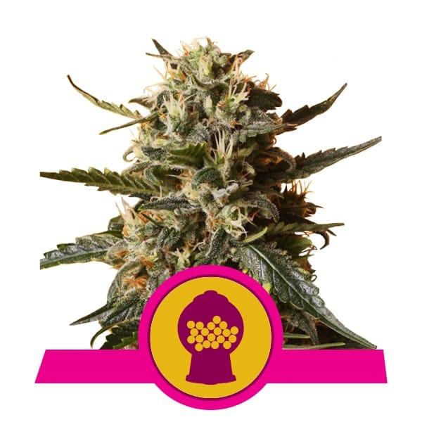 Royal Queen Seeds Bubblegum XL feminized cannabis seeds (3 seeds pack)