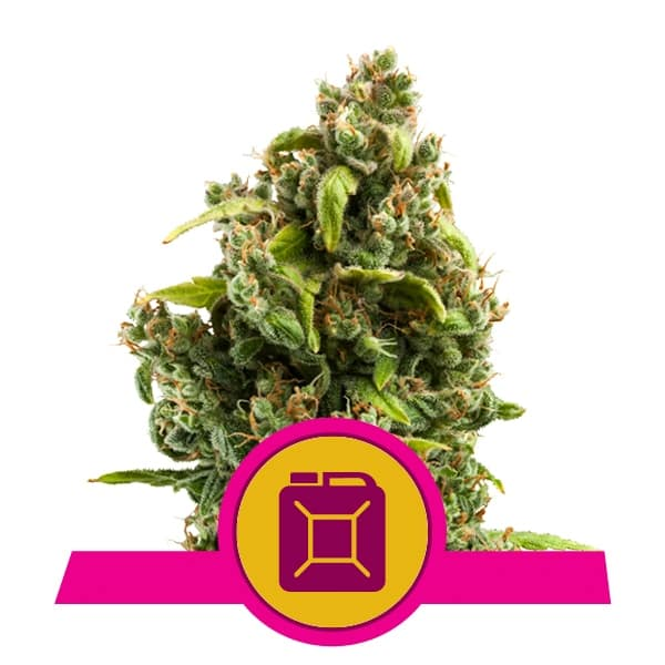 Royal Queen Seeds Sour Diesel feminized cannabis seeds (5 seeds pack)