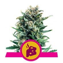 Royal Queen Seeds Blue Cheese feminized cannabis seeds (5 seeds pack)