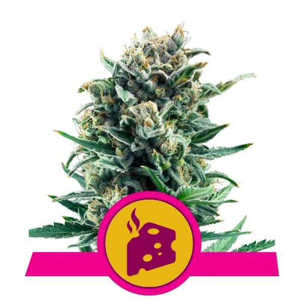 Royal Queen Seeds Blue Cheese feminized cannabis seeds (3 seeds pack)