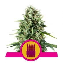 Royal Queen Seeds Royal AK feminized cannabis seeds (5 seeds pack)