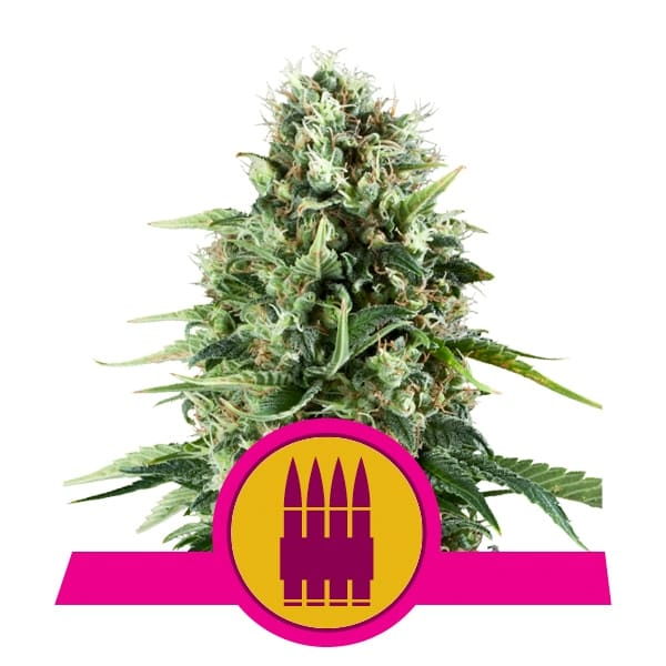 Royal Queen Seeds Royal AK feminized cannabis seeds (3 seeds pack)