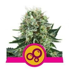 Royal Queen Seeds Bubble Kush feminized cannabis seeds (5 seeds pack)