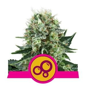 Royal Queen Seeds Bubble Kush feminized cannabis seeds (3 seeds pack)