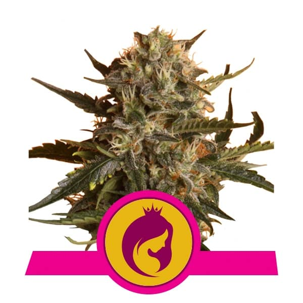 Royal Queen Seeds Royal Madre feminized cannabis seeds (5 seeds pack)