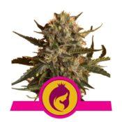 Royal Queen Seeds Mother Gorilla feminized cannabis seeds (3 seeds pack)