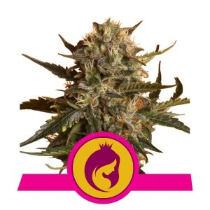 Royal Queen Seeds Royal Madre feminized cannabis seeds (3 seeds pack)