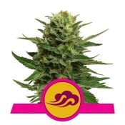 Royal Queen Seeds Blue Mystic feminized cannabis seeds (5 seeds pack)