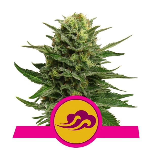 Royal Queen Seeds Blue Mystic feminized cannabis seeds (3 seeds pack)