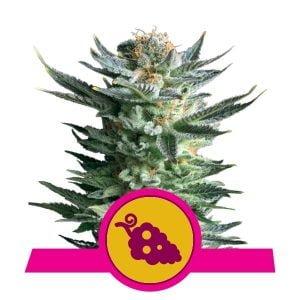 Royal Queen Seeds Fruit Spirit feminized cannabis seeds (5 seeds pack)