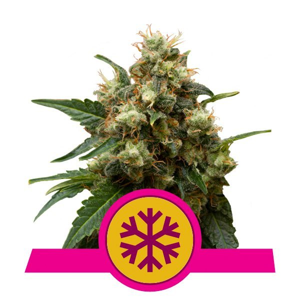 Royal Queen Seeds ICE feminized cannabis seeds (3 seeds pack)