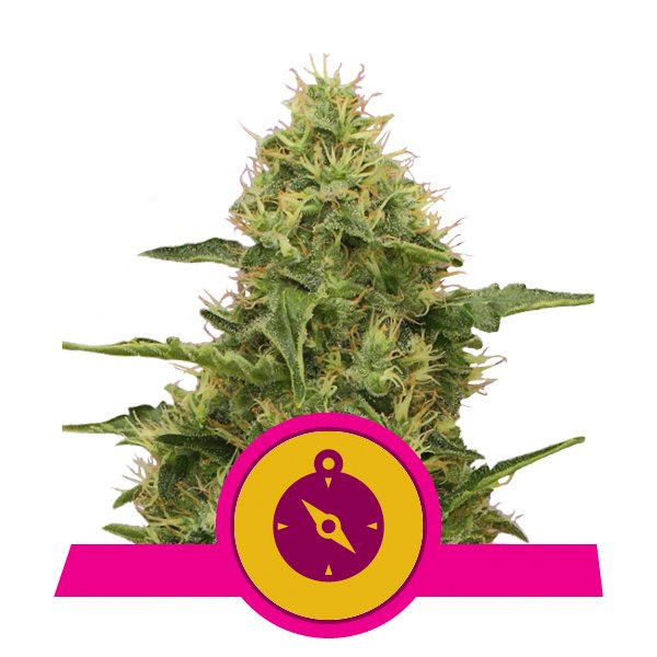 Royal Queen Seeds Northern Light feminized cannabis seeds (3 seeds pack)